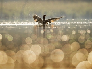 les canards de la seudre